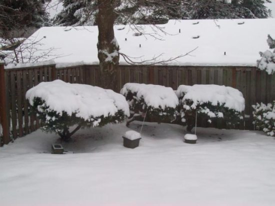 snowbushes