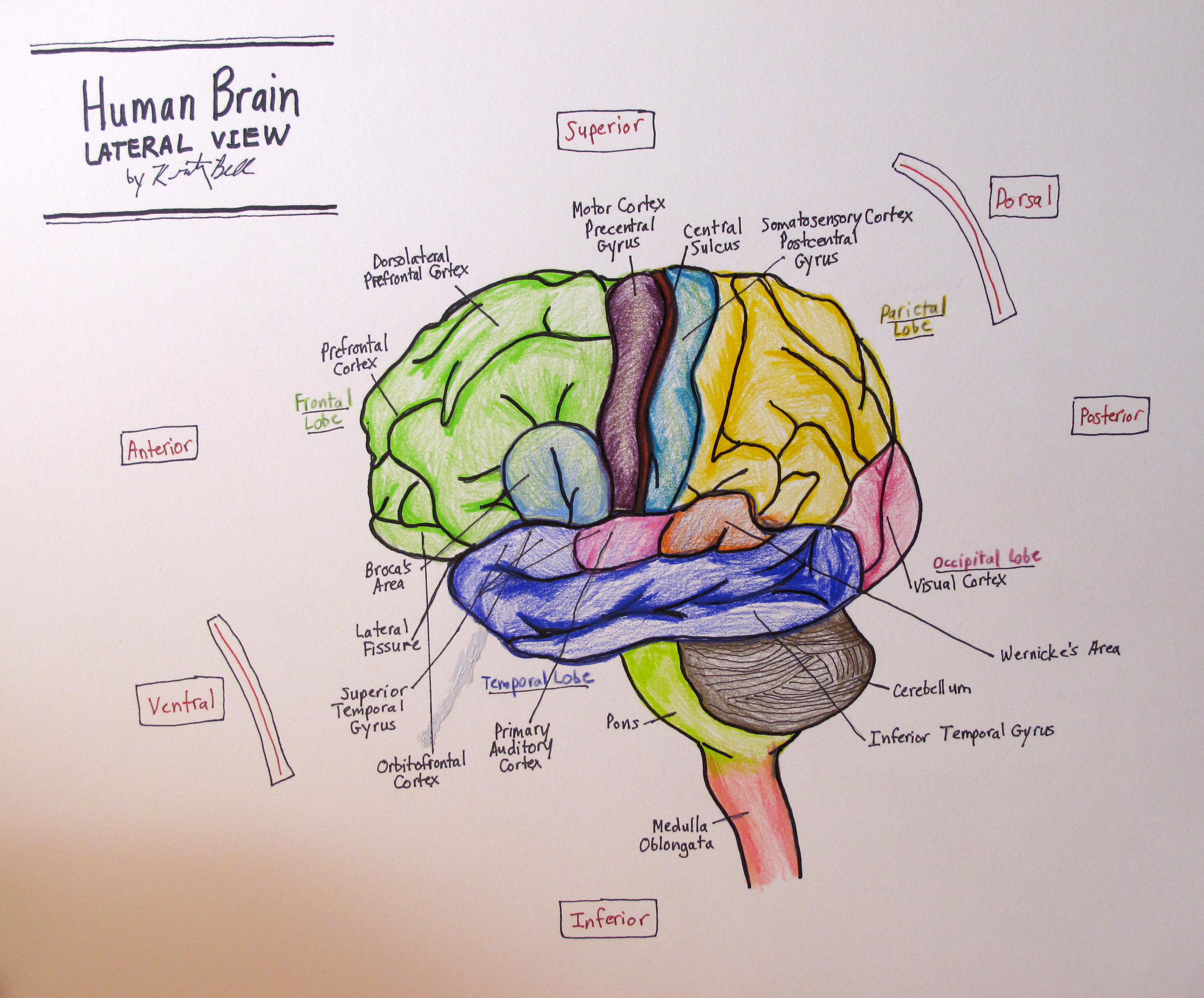 Lateral human brain 4th neuro drawing kristinbell this ccuart
